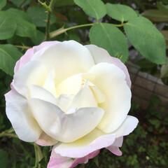 庭の薔薇/庭の花たち/花のある暮らし ちいさな淡いピンクの薔薇
