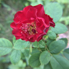 庭の花/お花大好き 庭の薔薇🌹 蕾が傷んでいますが 小さく咲…