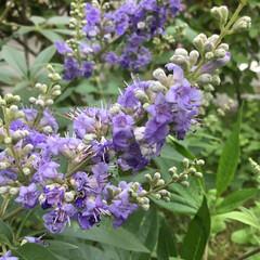 庭の花たち/お花大好き 西洋人参木 綺麗に咲きました💜