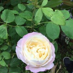 薔薇/庭の花たち/花のある暮らし 可愛い薔薇 開いてきました