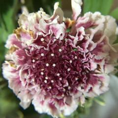 切り花/花のある暮らし/お花大好き 切り花 スカビオサ クイーン 紫の濃淡が…(1枚目)
