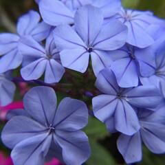 お花大好き/庭に咲く花 庭のルリマツリ 綺麗です