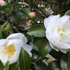 庭の花に咲く花/花のある暮し/お花大好き ご近所さんの庭に咲く 山茶花 白が綺麗です