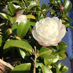 庭の花に咲く花/花のある暮し/お花大好き ご近所さんの庭に咲く 山茶花 白が綺麗です(2枚目)