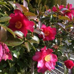 きれいなおはな 山茶花 今が最盛期 花びらがてんこもり💦