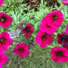 切り戻し/庭の花/お花大好き 庭のカリブラコア 鮮やかです