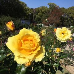 大阪万博/バラ園/花のある暮らし/お花大好き バラ園 黄色の元気カラー