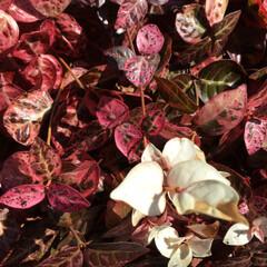 ご近所さん/庭に咲く花/お花大好き/花のあるくらし ご近所さんの初雪カズラ 綺麗に紅葉してい…