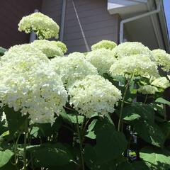 アナベル/おでかけ/花のある暮らし ご近所さん アナベルの館