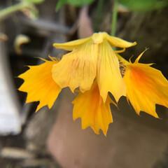 お花大好き/庭に咲く花/花のあるくらし 庭のナスタチューム