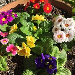 ご近所さん/庭に咲く花/お花大好き/花のあるくらし ご近所に咲く色とりどりのお花 プリムラジ…