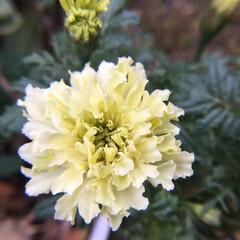 花のあるくらし/庭に咲く花/お花大好き 庭のマリーゴールド 小さく咲いています