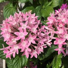 ペンタス/庭に咲く花/お花大好き 庭のペンタス ピンクが可愛いです💕