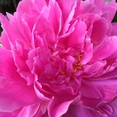 芍薬/庭の花たち/花のある暮らし 芍薬 最後の一輪