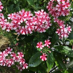 バーベナ/庭に咲く花/お花大好き 庭のバーベナが 花盛り💞