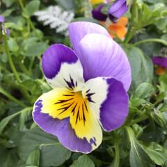 お花大好き/庭に咲く花/花のあるくらし 今年のビオラ