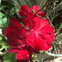 ゼラニウム/お花大好き/庭に咲く花 庭のゼラニウム❤️ 真っ赤なお花で いっ…