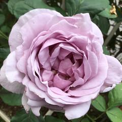 庭の薔薇/庭の花たち/花のある暮らし 好きな色の薔薇 綺麗に開きました💕