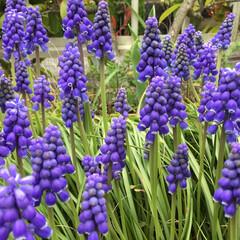花のある暮らし/庭に咲く花 ムスカリ たくさん咲いて くれました🥰