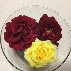 切り花/庭の花たち/花のある暮らし 庭の薔薇🌹 大雨の前に切り花に🌹