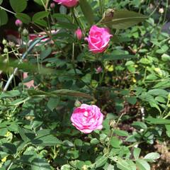 ミニ薔薇/庭の花たち/花のある暮らし ピンクのミニ薔薇 今年はなぜか  絞りが…
