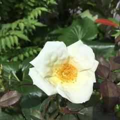 薔薇/庭の花たち/お花大好き 庭の薔薇がまだまだ 咲いてくれています