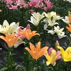 色とりどり/百合園/お花大好き 薄雲百合園に行きました カラフルな百合が…