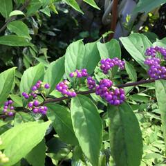 小紫/名前訂正/お花大好き/庭に咲く花 庭に咲くのは小紫(こむらさき) 山野に咲…(2枚目)