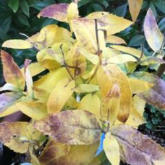 花のあるくらし/お花大好き/庭に咲く花 庭の桔梗 黄葉