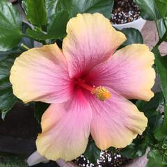 庭の花/お花大好き 庭のハイビスカス二輪目 今年はなかなか …