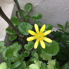 花のある暮らし/花さがし/春の花/庭に咲く花 姫立金花 ひめりゅうきんか ご近所のお庭…