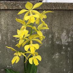 コロナに負けない/花のある暮らし/庭の花たち エビネ蘭 綺麗に咲き揃いました💛