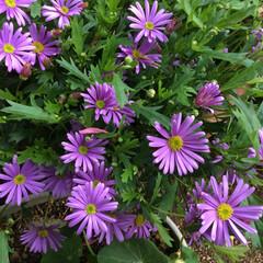 コロナに負けない/花のある暮らし/庭に咲く花 ブラキカム 鮮やかな青紫