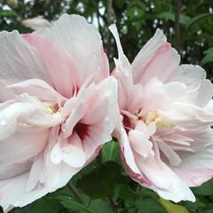 おでかけ/ムクゲの花/お花大好き ご近所で咲いている ムクゲの花🌸 淡いピ…