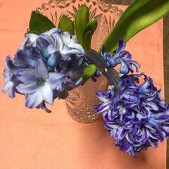 満開/春の花/花のある暮らし 庭のヒヤシンス 頭が重くて倒れそう🤔 切…