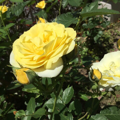 庭の花たち/花のある暮らし 庭に咲く薔薇 次々咲きます💛