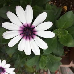 庭の花たち/花のある暮らし オステオスペルマム 可愛いお花ですね😊