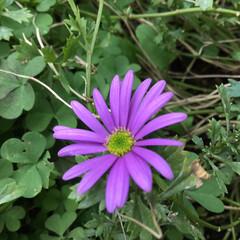 花のあるくらし/お花大好き/庭に咲く花 庭のブラキカム 赤紫が綺麗です
