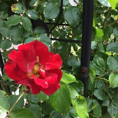 薔薇/庭の花たち/花のある暮らし 庭の赤いつるバラ 黄色がアクセント