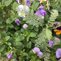 庭に咲く花/花のあるくらし/お花大好き ビオラ三色寄せ植え