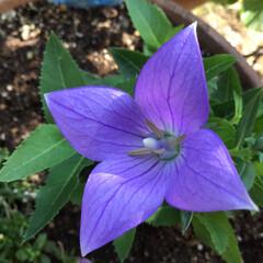 桔梗/お花大好き/庭の花 庭の桔梗が パンチクリンから パッカーン…