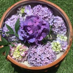 西洋人参木/紫陽花/庭の花たち/お花大好き なごりの紫陽花 浮花にしました つかのま…