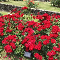 薔薇/フラワーセンター/おでかけ リリーマルレーン 鮮やかな赤