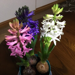 春の花たち ヒヤシンスがあっというまに満開 とっても…