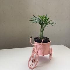 三輪車/お花大好き/庭の花/ダイソー ダイソーで購入した テーブルヤシ🌴 三輪…