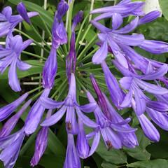 おでかけ/ご近所/お花大好き ご近所のアガパンサス 鮮やかな色で綺麗💜