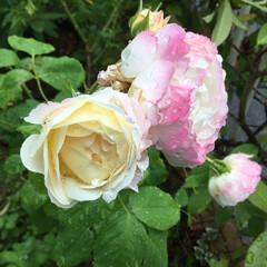薔薇/庭の花たち/花のある暮らし 色変わりする薔薇