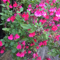 コロナに負けない/おでかけ/花のある暮らし ご近所さんの庭に咲く サルビア 素敵な色…