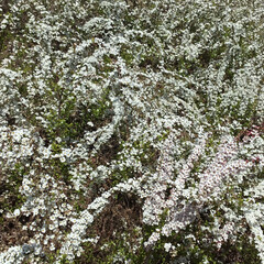 春さがし/花さがし/公園/おでかけ 近くの公園に ピンクユキヤナギ 新しい植…(2枚目)