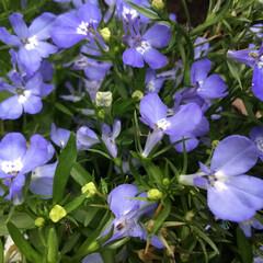 ロベリア/庭の花たち/花のある暮らし ロベリア三色